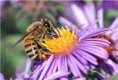 Bee on Purple Flower Image